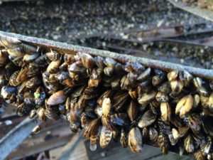 Photo Zebra Mussels